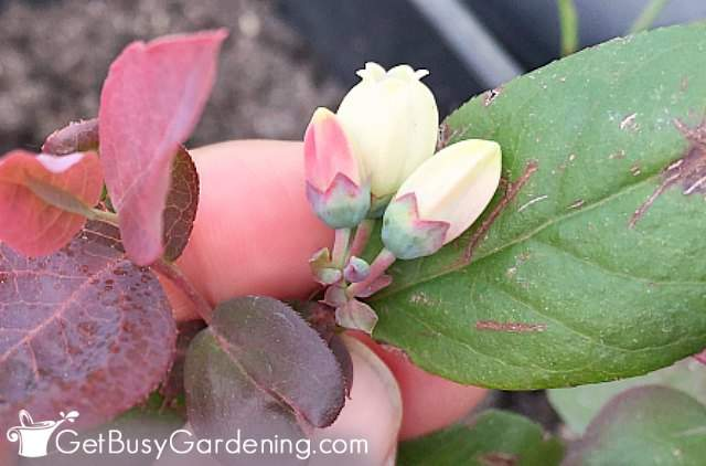 Flowers starting to open on blueberry plant