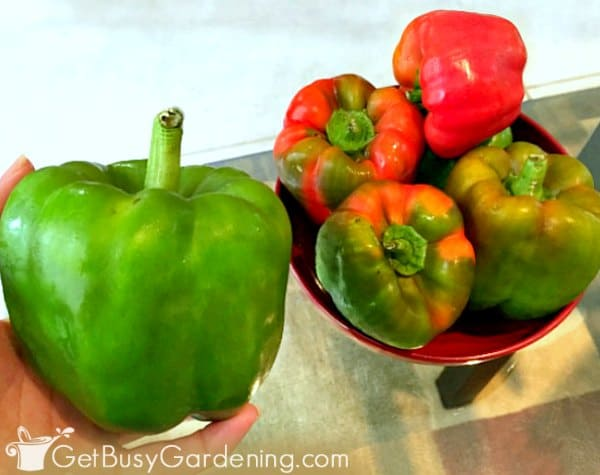 Fresh peppers harvested from my garden
