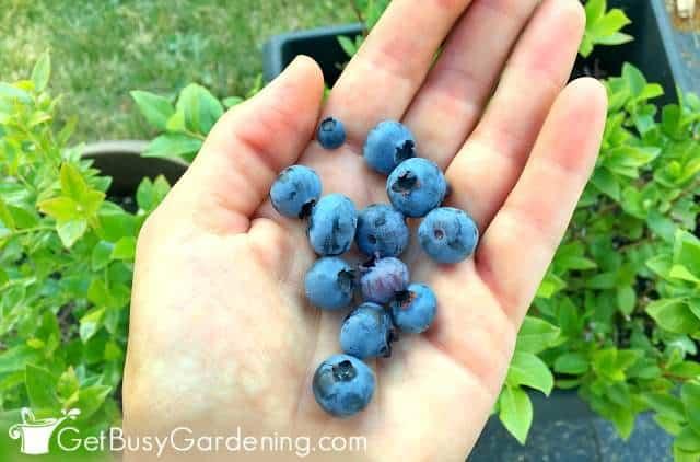 Harvesting blueberries from my garden
