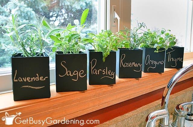 Herb garden - My windowsill herb garden