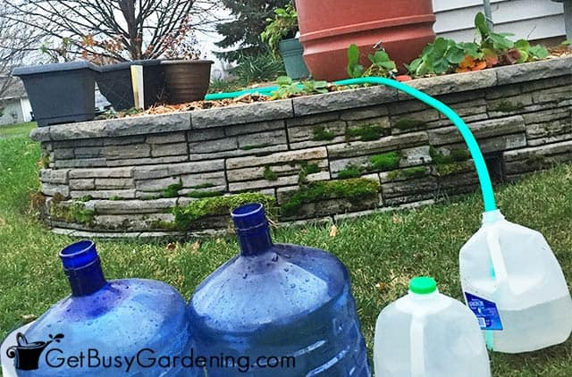 Filling jugs with water from my rain barrel