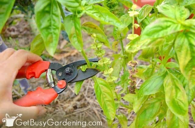 Pruning basil plant
