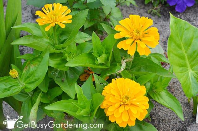 Bright yellow zinnia flowers