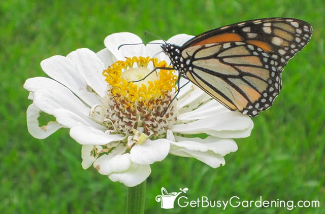 Butterfly feeding on zinnia pollen