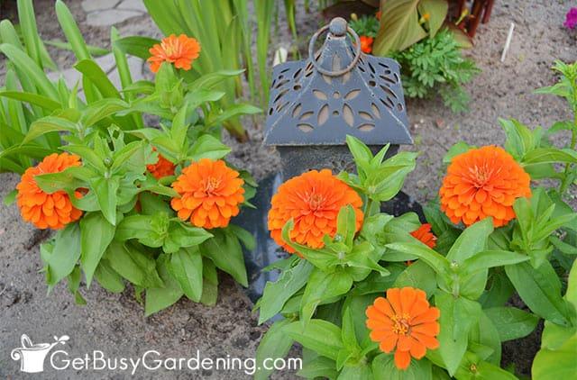Double orange dwarf zinnias