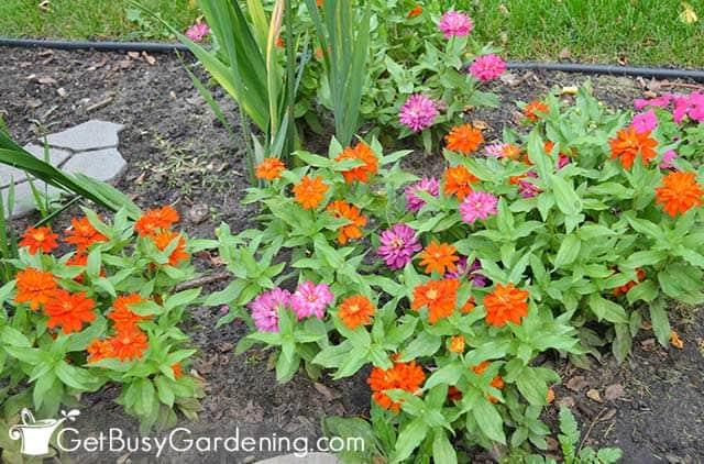 Dwarf varieties of zinnias in the garden