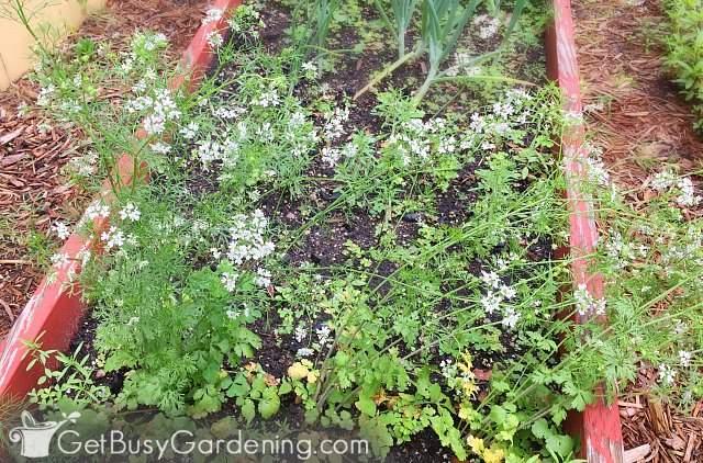 Flowering cilantro plants
