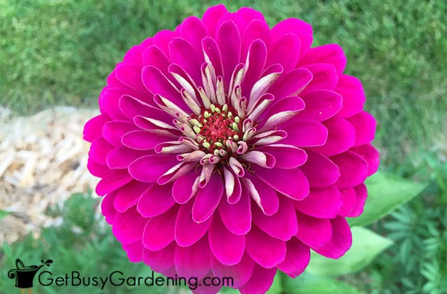 Gorgeous double pink zinnia bloom