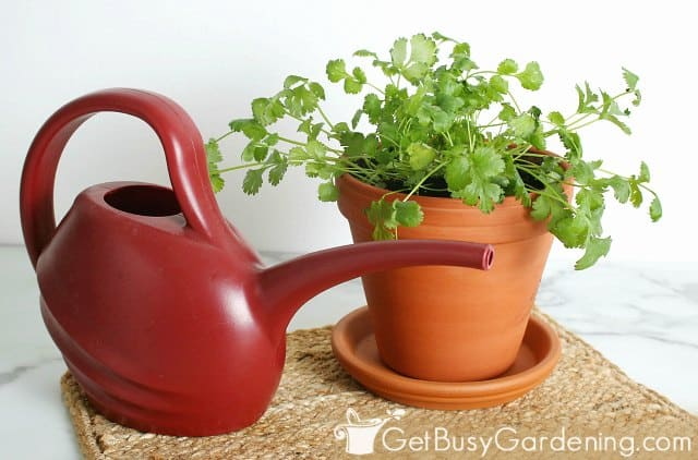 Potted cilantro growing indoors