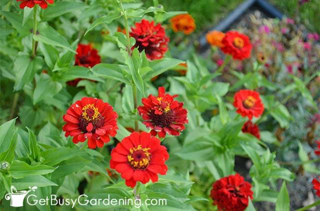 Single red zinnia flowers