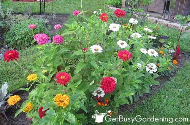 Various zinnia flower colors