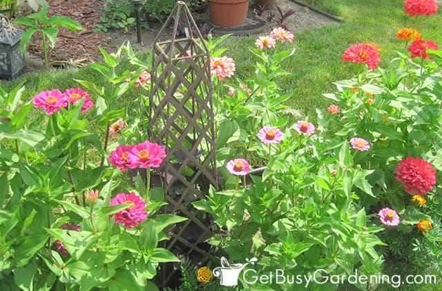 Zinnia plants growing in my garden