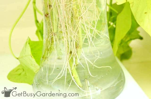 Rooting plants in water