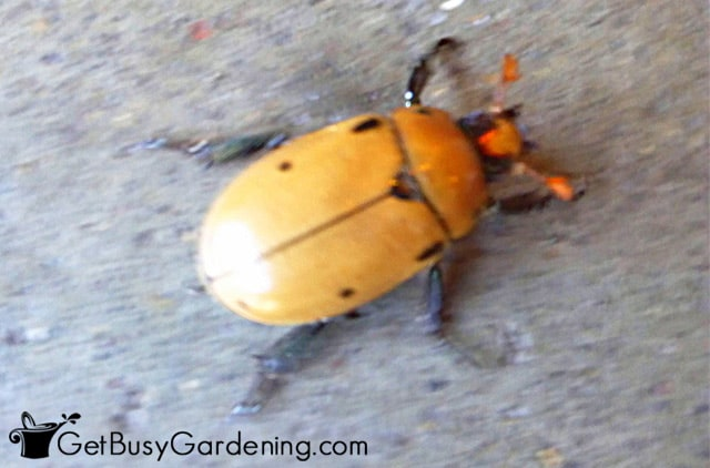 Grapevine beetle reacting to bright light