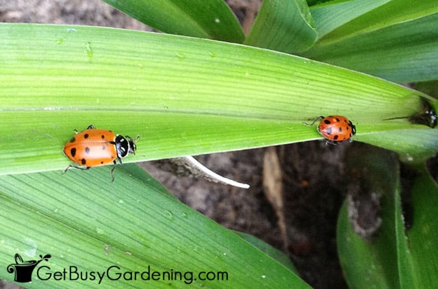 Beneficial bugs to help control garden pests