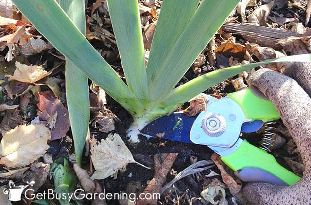 Cutting back iris leaves in fall