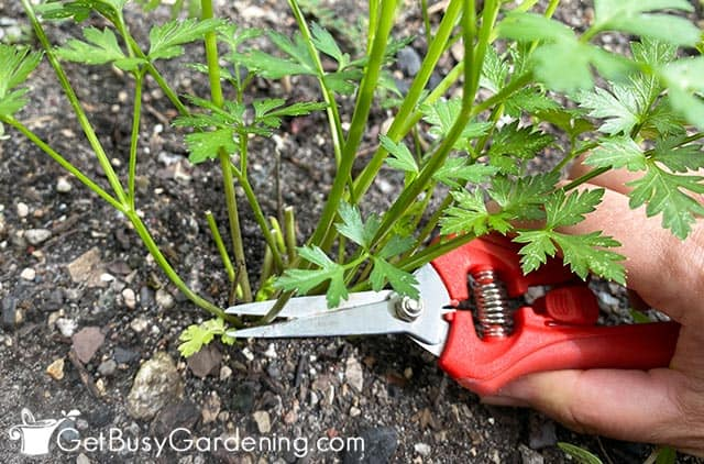 Cutting parsley stem at the base