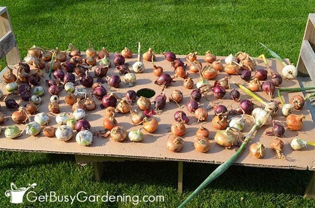 Drying onions in the sun