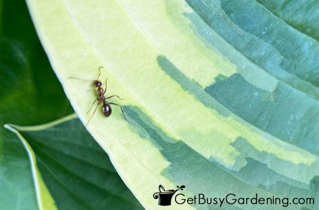 Garden ant crawling on a hosta leaf