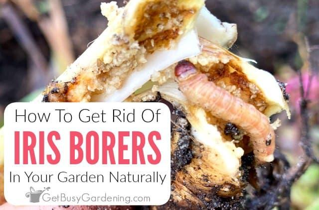 How To Get Rid Of Iris Borers Naturally