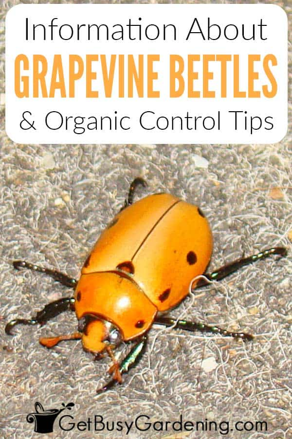 Information About Grapevine Beetles & Organic Control Tips