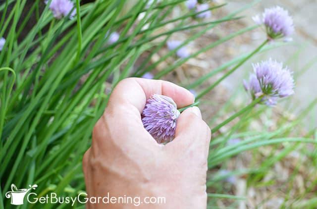 Harvesting chive flowers