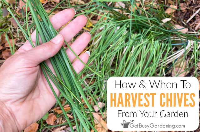 How And When To Harvest Chives