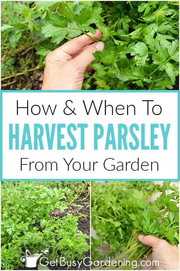 How & When To Harvest Parsley From Your Garden