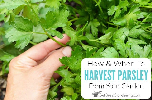 How And When To Harvest Parsley