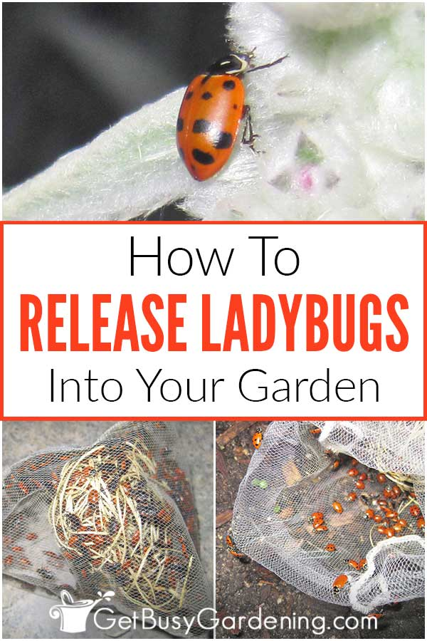How To Release Ladybugs Into Your Garden