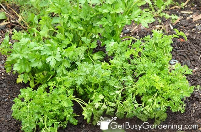 Mature parsley ready to harvest