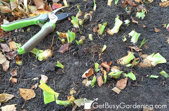 Removing all iris leaves and debris