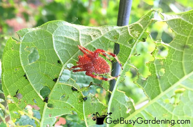 Spiders are good bugs for the garden