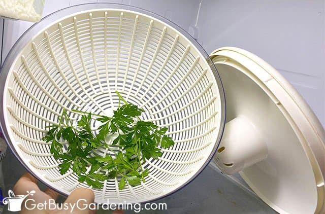 Storing parsley in the fridge