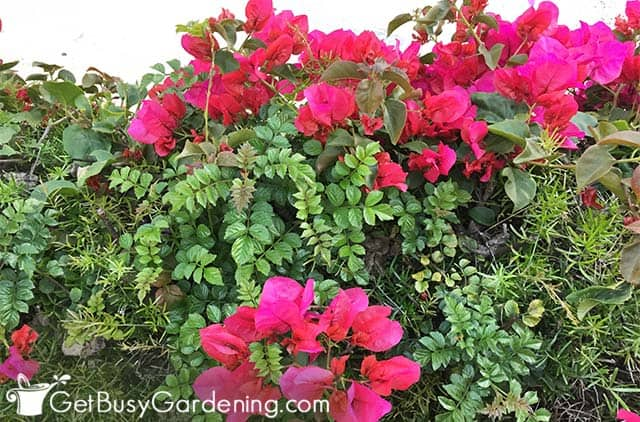 Gorgeous hot pink bougainvillea flowers