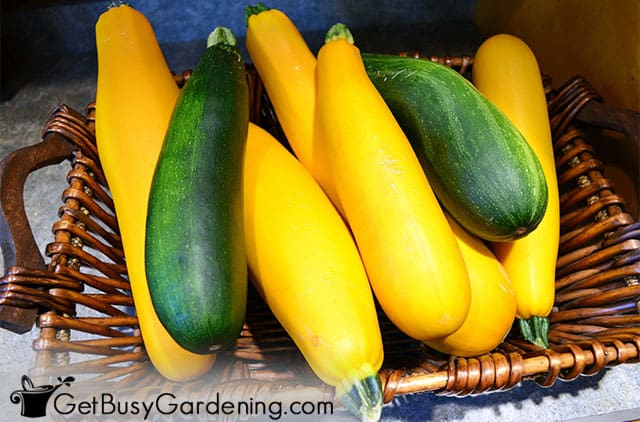 Green and yellow zucchini for making zoodles