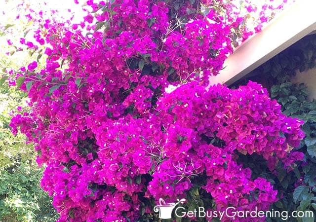 Large bougainvillea vine growing on a wall