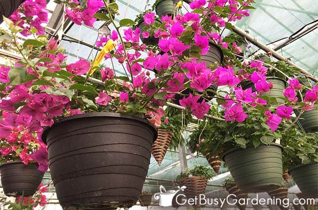 Small bougainvilleas planted in hanging containers