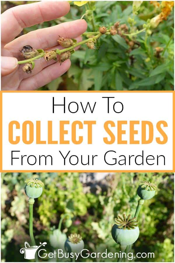How To Collect Seeds From Your Garden