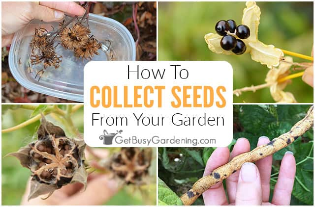 How To Harvest & Collect Seeds From Your Garden