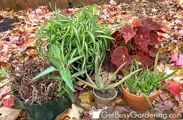 Getting ready to bring plants in for winter