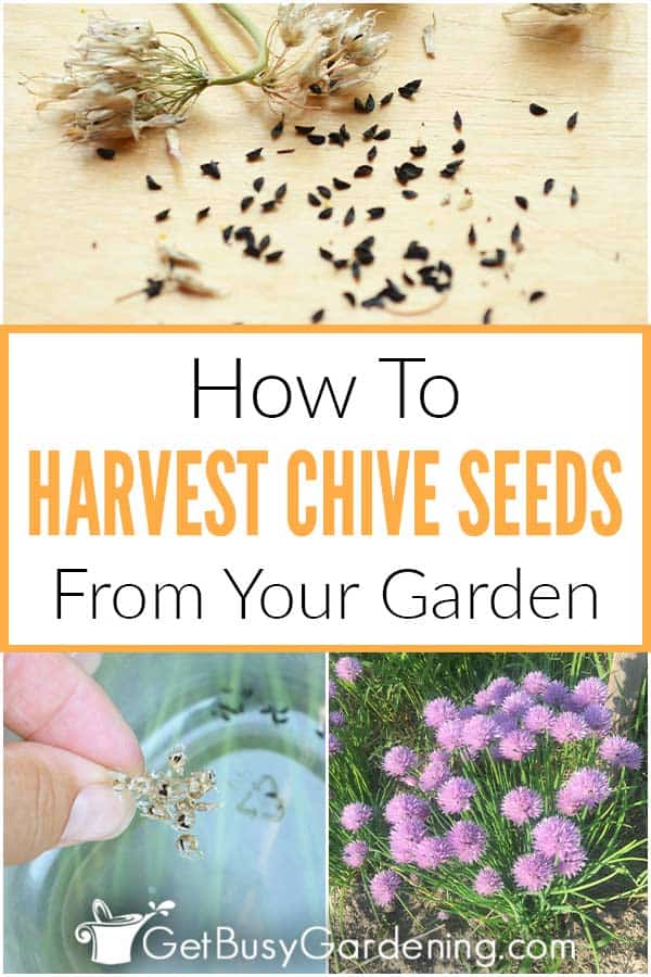How To Harvest Chive Seeds From Your Garden