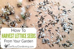 How To Harvest & Get Lettuce Seeds