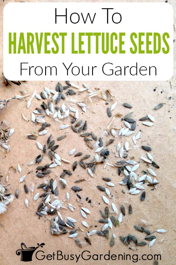 How To Harvest Lettuce Seeds From Your Garden