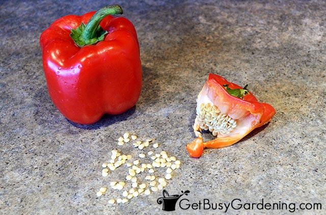 Harvesting seeds from vegetables
