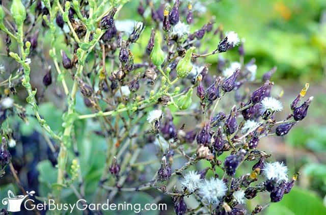 Mature lettuce seeds ready to collect