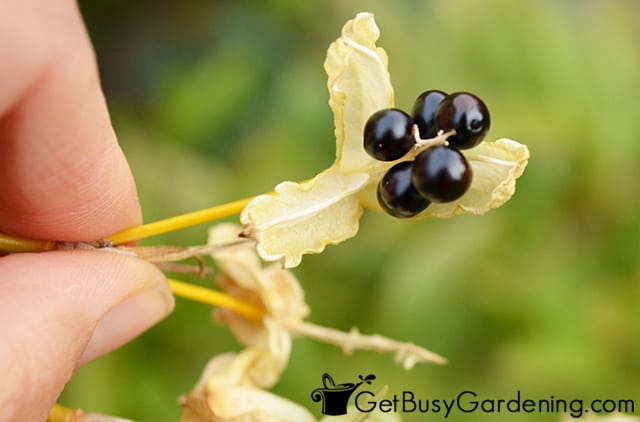 Ripe seeds ready to be picked