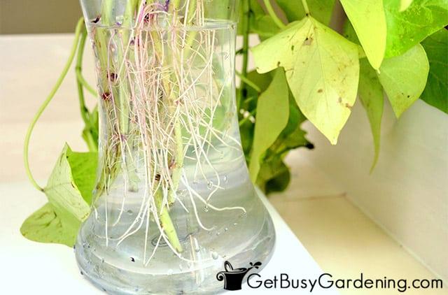 Tender cuttings overwintering in water