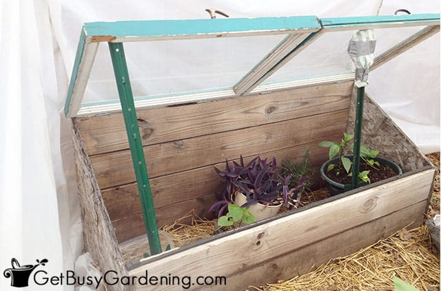 Using my cold frame to protect plants