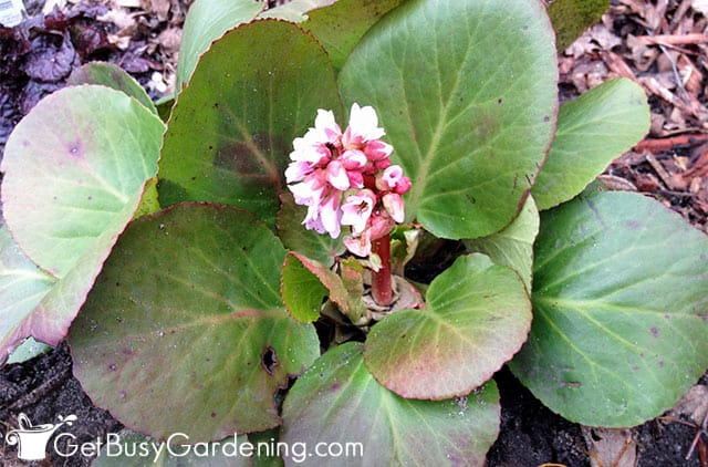 Bergenia plants do best in shade
